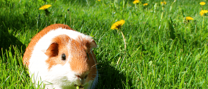 Cavia in het gras