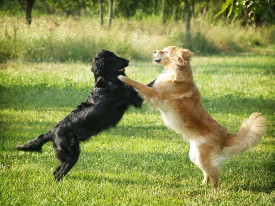 Twee spelende honden